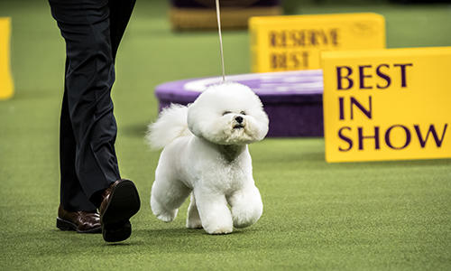 Flynn Best In Show at Westminster 2018