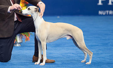 2018-nds-best-in-show-dog-show-page-500x300